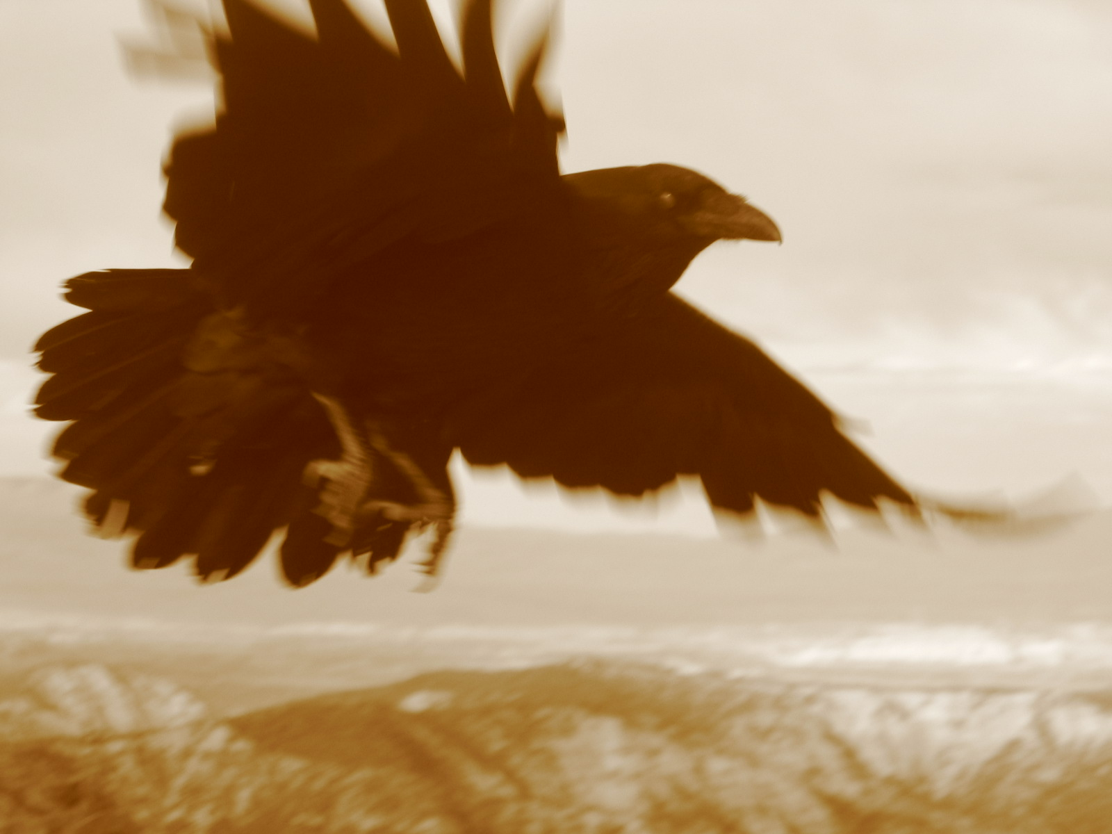 black crow sepia